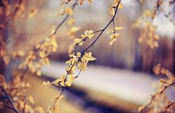 Ramas del abedul en otoño con las hojas amarillas Imagen de archivo