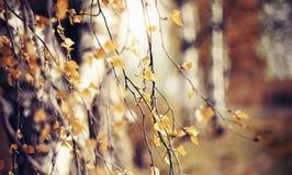 Ramas del abedul en otoño con las hojas amarillas Fotos de archivo
