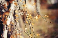 Ramas del abedul en otoño con las hojas amarillas Foto de archivo libre de regalías