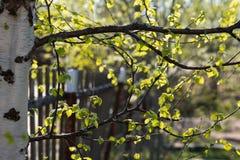Ramas del abedul en primavera fotografía de archivo