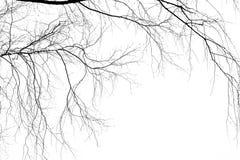 Ramas del abedul en un fondo blanco Fotos de archivo