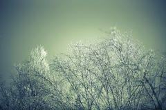 Ramas del abedul Nevado en día soleado del invierno contra Imagen de archivo libre de regalías