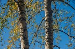 Ramas del abedul y cielo azul fotografía de archivo libre de regalías