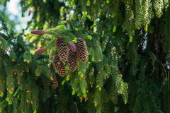Ramas del abeto con los conos y los nuevos brotes Fotos de archivo libres de regalías