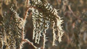 Ramas del abeto cubiertas con la escarcha soleada almacen de metraje de vídeo