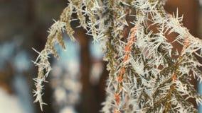 Ramas del abeto cubiertas con la escarcha soleada metrajes