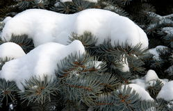 Ramas del abeto debajo de la nieve Fotos de archivo