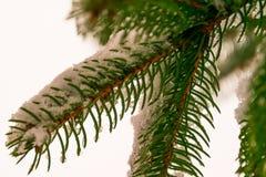 Ramas del abeto debajo de la nieve en blanco Fotografía de archivo libre de regalías