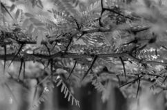 Ramas del acacia salvaje con las hojas jovenes Tiroteo en el nivel del ojo Foco selectivo monocrom?tico fotos de archivo libres de regalías