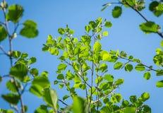 Ramas del aliso con las hojas solares verdes jovenes Imagen de archivo