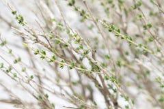 Ramas del arbusto del tomillo en nieve imagen de archivo