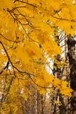 Ramas del arce en bosque del otoño Fotografía de archivo