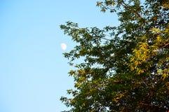 Ramas del arce y la luna contra el cielo azul Fotos de archivo
