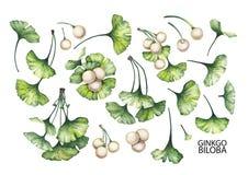 Ramas del biloba del ginkgo de la acuarela Fotografía de archivo libre de regalías