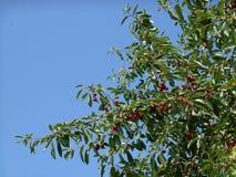 Ramas del cerezo con las bayas rojas maduras, cielo azul en fondo Fotos de archivo libres de regalías