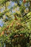 Ramas del ciruelo de cereza con una cosecha grande Imagen de archivo libre de regalías