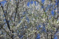 Ramas del ciruelo en la floración Fotos de archivo
