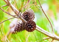 Ramas del cono del pino Fotografía de archivo libre de regalías