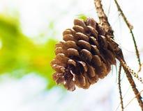 Ramas del cono del pino Imagenes de archivo
