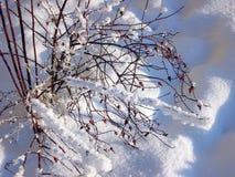 Ramas del escaramujo con las frutas rojas en el sol en la nieve en invierno, Rusia, Pskov foto de archivo