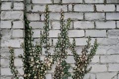Ramas del eucalipto Fotos de archivo libres de regalías