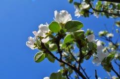 Ramas del flor de la manzana Foto de archivo libre de regalías