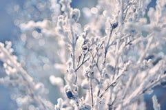 Ramas del invierno de Frost y nieve defocused Imagenes de archivo