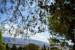 Ramas del olivo hermoso que muestran las frutas y las hojas con el fondo de la ciudad, de la montaña y del cielo azul de Atenas e Fotos de archivo libres de regalías