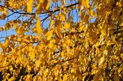 Ramas del olmo con las hojas amarillas Autumn Abstract foto de archivo