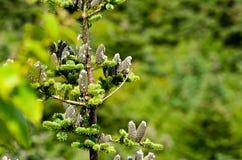 Ramas del pino Imagen de archivo libre de regalías