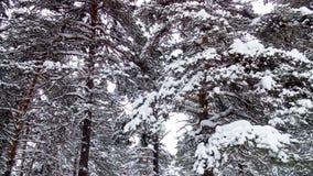 Ramas del pino Imagenes de archivo