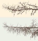 Ramas del pino Fotografía de archivo