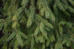 Ramas 2 del pino Imágenes de archivo libres de regalías