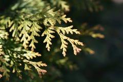 Ramas del pino Fotografía de archivo libre de regalías