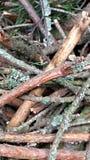 Ramas del pino Foto de archivo libre de regalías
