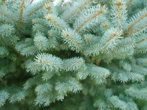 Ramas 2 del pino Imagen de archivo