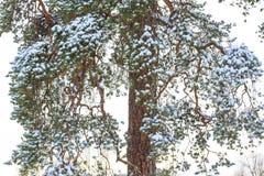 Ramas del pino apelmazadas con nieve Imagen de archivo
