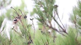 Ramas del pino con los conos debajo de la lluvia de colada almacen de video