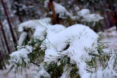 Ramas del pino cubiertas con helada fotos de archivo