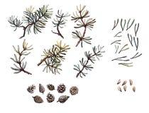 Ramas del pino de la mano, agujas y sistema exhaustos del cono, clip art, aislado, ejemplo realista de la acuarela Clipart del ar ilustración del vector