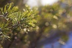 Ramas del pino del invierno en la luz del sol Imágenes de archivo libres de regalías