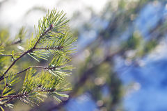 Ramas del pino del invierno en la luz del sol Fotos de archivo
