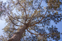 Ramas del pino en el cielo Fotografía de archivo