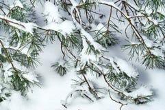 Ramas del pino en la nieve Fotografía de archivo