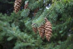 Ramas del pino en otoño Fotos de archivo libres de regalías
