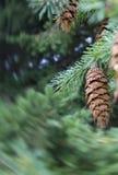 Ramas del pino en otoño Fotografía de archivo