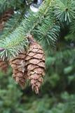 Ramas del pino en otoño Imagen de archivo