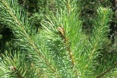 Ramas del pino en primavera foto de archivo