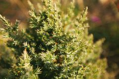 Ramas del pino o del cedro, agujas verdes jovenes fotografía de archivo libre de regalías