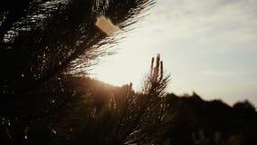 Ramas del pino que tiemblan en el viento después de la lluvia en día soleado Escena espléndida del bosque con descensos que señal metrajes